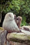 Baboon family Stock Image