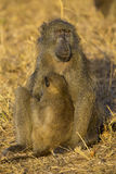 Baboon family play and having fun in nature Royalty Free Stock Image