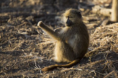 Baboon family play and having fun in nature Royalty Free Stock Photos