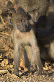 Baboon family play and having fun in nature Stock Images