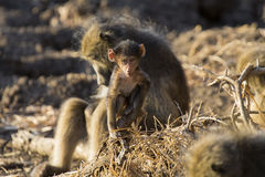 Baboon family play and having fun in nature Stock Photos