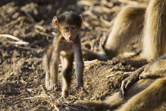 Baboon family play and having fun in nature Stock Photo