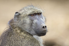 Baboon family play and having fun in nature Stock Photography