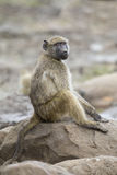 Baboon family play and having fun in nature Royalty Free Stock Photo