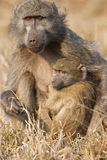 Baboon family play to strengthen bonds and having fun nature Stock Photos