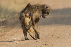 Baboon family play to strengthen bonds and having fun nature Stock Photography
