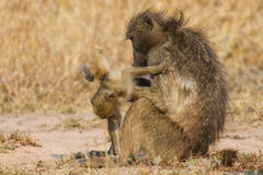 Baboon family play to strengthen bonds Royalty Free Stock Photography