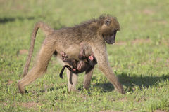 Baboon family play to strengthen bonds having fun in nature Stock Photography