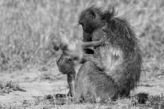 Baboon family play to strengthen bonds and having fun nature  ar Royalty Free Stock Images