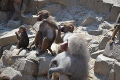 Baboon family relaxing stock images