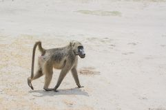 Baboon family in the Savannah of in Zimbabwe, South Africa royalty free stock image