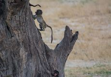 Baboon family in the Savannah of in Zimbabwe, South Africa stock photo