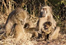 Baboon family sitting on the side of a road Royalty Free Stock Image