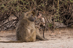 Baboon family time. Baboons have family social time, Botswana, 2015 stock image