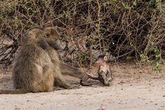 Baboon family time. Baboons have family social time, Botswana, 2015 royalty free stock photos