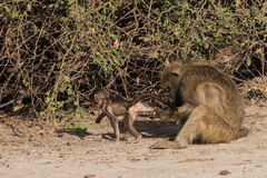 Baboon family time. Baboons have family social time, Botswana, 2015 royalty free stock images