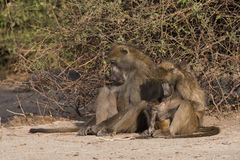 Baboon family time. Baboons have family social time, Botswana, 2015 royalty free stock photo