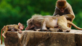 Baboon family on a tree stump Stock Photo