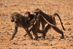 Baboon family walking in scrub Stock Image