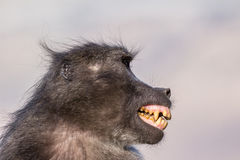 Baboon fear grimace. Chacma baboon making a fear grimace as signal of submission Stock Photos