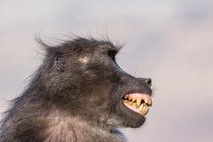Baboon fear grimace Stock Photos