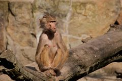 Baboon (female) Stock Photos