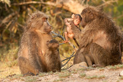 Baboon females with babies. Large primate with U-shaped tail; coat colour vary from dark grey to grey-brown; males significantly larger and powerfully built than Royalty Free Stock Photography