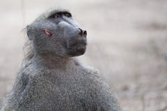 Baboon after a fight royalty free stock images