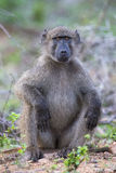 Baboon forage for food in early morning sunshine Royalty Free Stock Images