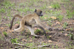 Baboon forage for food in early morning sunshine Royalty Free Stock Photos