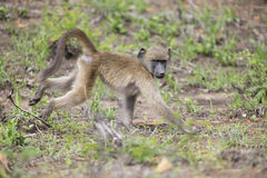 Baboon forage for food in early morning sunshine Stock Photos