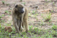 Baboon forage for food in early morning sunshine Royalty Free Stock Photo