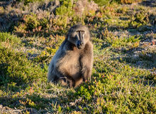 Baboon foraging. An adult Chacma baboon foraging for food in Southern Africa Stock Photos