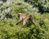 Baboon foraging. A juvenile Chacma baboon foraging for food in Southern Africa Royalty Free Stock Photo
