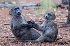 Baboon friends. Two juvenile baboons holding each other Stock Photography