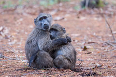 Baboon friends. Two juvenile baboons embracing each other Royalty Free Stock Photography