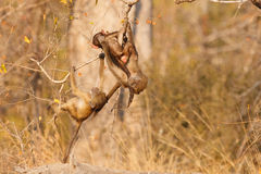 Baboon fun. Two baboons play in the african bush royalty free stock image