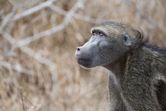 Baboon gazing into the sky Royalty Free Stock Image