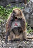 Baboon Gelada αρσενικό στοκ εικόνα με δικαίωμα ελεύθερης χρήσης