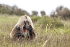 Baboon Gelada που τρώει τη χλόη στα βουνά Simien, Αιθιοπία Στοκ φωτογραφίες με δικαίωμα ελεύθερης χρήσης