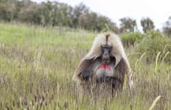 Baboon Gelada που τρώει τη χλόη στα βουνά Simien, Αιθιοπία Στοκ Φωτογραφίες