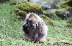 Baboon Gelada που τρώει τη χλόη στα βουνά Simien, Αιθιοπία Στοκ εικόνα με δικαίωμα ελεύθερης χρήσης