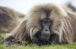 Baboon Gelada στα βουνά Simien, Αιθιοπία Στοκ φωτογραφία με δικαίωμα ελεύθερης χρήσης