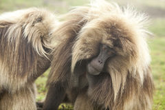 Baboon Gelada στα βουνά Simien, Αιθιοπία Στοκ εικόνα με δικαίωμα ελεύθερης χρήσης