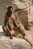baboon gelada Στοκ φωτογραφία με δικαίωμα ελεύθερης χρήσης