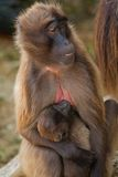 baboon gelada Στοκ φωτογραφίες με δικαίωμα ελεύθερης χρήσης