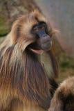 baboon gelada Στοκ Φωτογραφίες