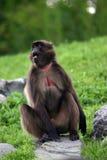 baboon gelada Στοκ εικόνα με δικαίωμα ελεύθερης χρήσης