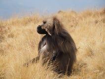 Baboon Gelada, gelada Theropithecus, στην Αιθιοπία Στοκ φωτογραφίες με δικαίωμα ελεύθερης χρήσης