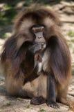 Baboon Gelada gelada Theropithecus Στοκ φωτογραφία με δικαίωμα ελεύθερης χρήσης